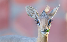 Kirk Dik-dik (Madoqua kirkii). Selective focus on the eyes Stock Photo