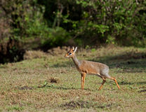 Kirk's dik dik Stock Photo