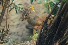 Kirk's dik-dik. The kirk's dik-dik in the forest Royalty Free Stock Photography