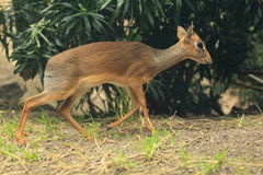 Kirk's dik-dik. The running kirk's dik-dik Royalty Free Stock Photo