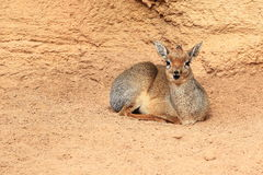 Kirk's dik-dik. Lying on the soil Royalty Free Stock Photos
