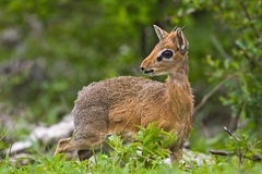 Kirk's Dik-Dik Royalty Free Stock Photos