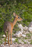 Kirk's Dik-Dik Royalty Free Stock Photo