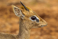 Kirk's Dik Dik. Close Facial Portrait of  Male Kirk's Dik Dik Stock Photo