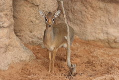 Kirk's Dik-dik - Madoqua kirkii Royalty Free Stock Photo