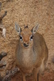 Kirk's Dik-dik - Madoqua kirkii Royalty Free Stock Photos