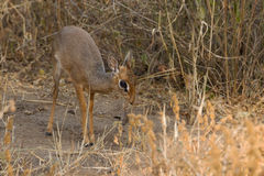 A Kirk's dik-dik Royalty Free Stock Images
