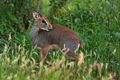 Kirk`s Dik-dik - Madoqua kirkii. Small cute antelope from bush of East Africa, Tsavo National Park, Kenya Stock Image