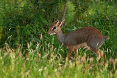 Kirk`s Dik-dik - Madoqua kirkii. Small cute antelope from bush of East Africa, Tsavo National Park, Kenya Royalty Free Stock Photography