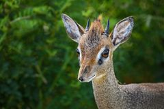 Kirk`s Dik-dik - Madoqua kirkii. Small cute antelope from bush of East Africa, Tsavo National Park, Kenya Royalty Free Stock Photo