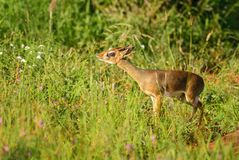 Kirk`s Dik-dik - Madoqua kirkii. Small cute antelope from bush of East Africa, Tsavo National Park, Kenya Stock Images