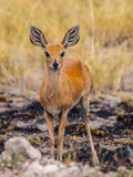 Kirk's dik-dik (Madoqua kirkii) Stock Photo