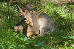 Kirk's dik-dik - small antelope. Kirk's dik-dik - Madoqua kirki - small antelope native to east- and southwest Africa Royalty Free Stock Photo