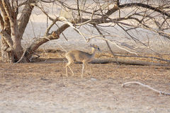 Kirk's Dik-dik, a small antelope Stock Photo