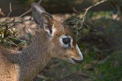 Kirk's dik-dik- small antelope Stock Images