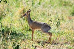 A Kirk`s Dik-dik in the tall grass royalty free stock photo