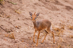 Kirk's Dikdik  - Lake Manyara NP Stock Photography