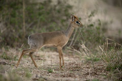 Kirk's dikdik, Rhynchotragus kirki Stock Photo