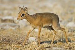 Kirks(Damara) Dik- Dik. Madoque kirkii; Namibia stock image