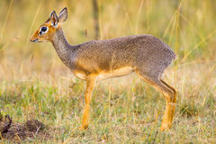 Kirks Dikdik Female Portrait Royalty Free Stock Photography