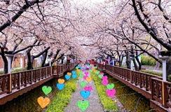 Kirsch-Blüten an Tages-Busan-Stadt in Korea Lizenzfreies Stockbild