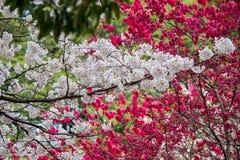 Kirsch- und Pfirsichblüten bei Shinjuku Gyoen, Tokyo, Japan Stockbild