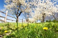 Kirschbäume Lizenzfreie Stockbilder
