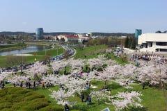 Kirschbäume blüht im Frühjahr Park Lizenzfreie Stockbilder