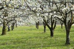 Kirschbäume blühten völlig Stockbild