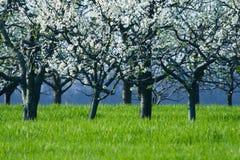 Kirschbäume in der Blüte Lizenzfreies Stockfoto