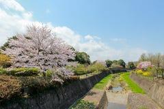 Kirschbäume entlang dem trockenen Kanal bei Showa Kinen KoenShowa Memorial Park, Tachikawa, Tokyo, Japan im Frühjahr stockfotografie