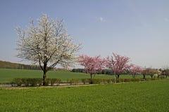 Kirschbäume im Frühjahr, Niedersachsen, Deutschland Lizenzfreie Stockbilder