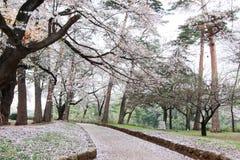 Kirschbäume in Omiya parken, Saitama, Japan im Frühjahr Mit sakurafubuki und Kirschden blütenblumenblättern aus den Grund Lizenzfreie Stockbilder