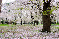 Kirschbäume in Omiya parken, Saitama, Japan im Frühjahr Mit sakurafubuki und Kirschden blütenblumenblättern aus den Grund Stockbilder
