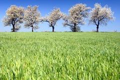 Kirschbäume und Felder Lizenzfreie Stockfotos