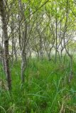 Kirschbäume und Unterholz lizenzfreie stockbilder