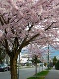Kirschbäume in Vancouver, Kanada Lizenzfreie Stockfotografie