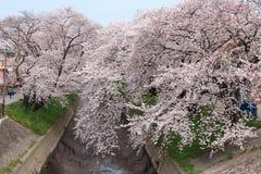 Kirschbaum auf Gojo-Fluss Stockfotos