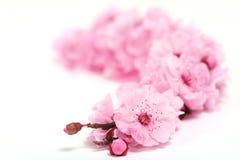 Kirschbaum-Blüten des Frühlinges mit extremer Tiefe Stockfoto
