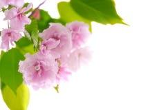 Kirschbaum blüht Nahaufnahme auf Weiß Lizenzfreies Stockfoto