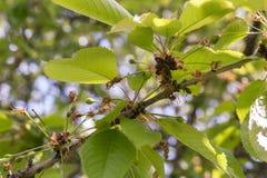 Kirschbaum, der anfängt Früchte zu tragen Stockfotos