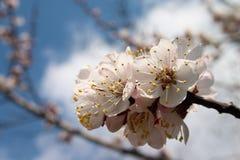 Kirschbaum in der Blüte Lizenzfreie Stockfotografie