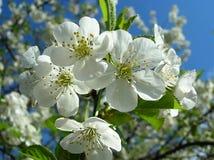 Kirschbaum in der Blüte Lizenzfreies Stockfoto