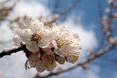 Kirschbaum in der Blüte Stockbild