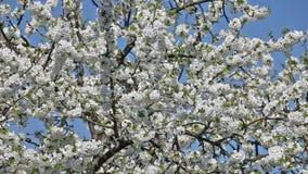 Kirschbaum in der Blüte stock video