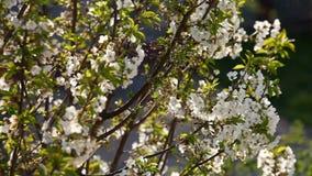 Kirschbaum in der Blüte stock footage