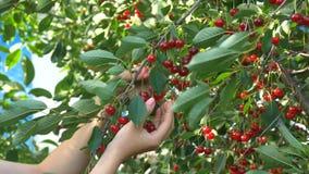 Kirschbaum, der reife Kirschen im Obstgarten in der Nahaufnahme, Videoclip auswählt stock video footage