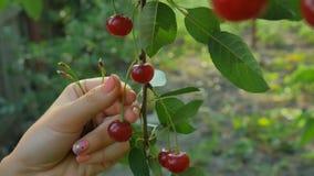 Kirschbaum, der reife Kirschen im Obstgarten in der Nahaufnahme, Videoclip auswählt stock footage