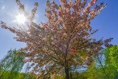 Kirschbaum im Frühjahr Stockfotografie