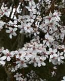 Kirschbaum im Frühjahr Stockfotos